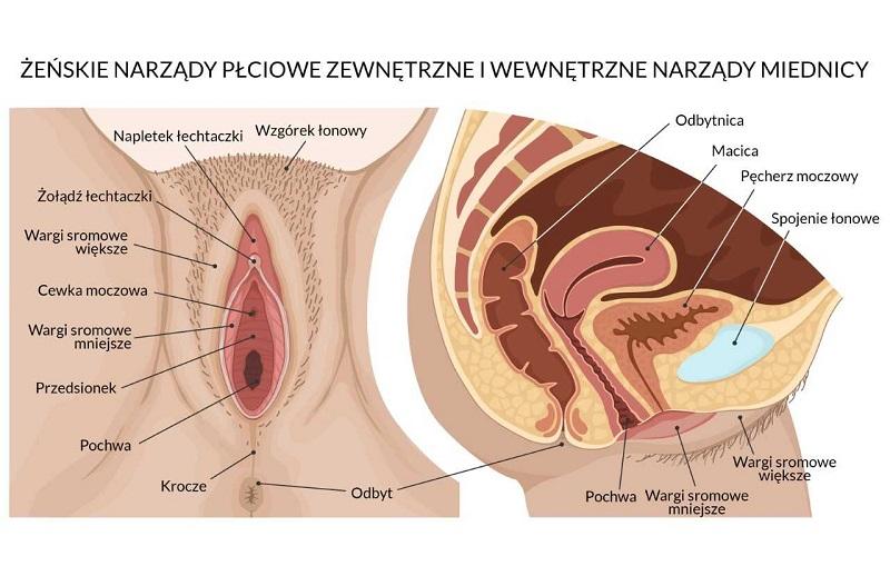 żeńskie narządy płciowe zewnętrzne
